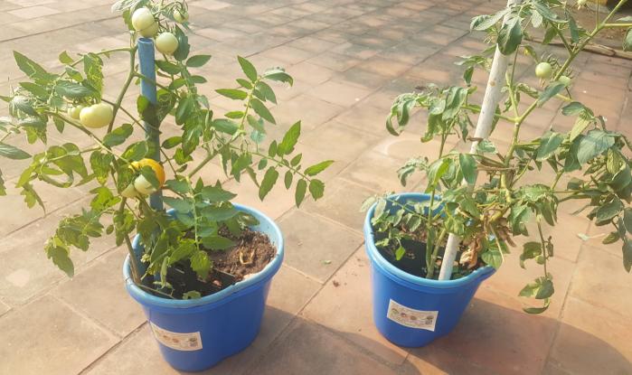 ecopot tomato